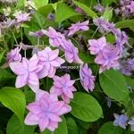 Hydrangea serrata Mikata Yae (6)