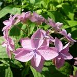 Hydrangea serrata Mikata-yae (2)