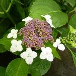 Hydrangea serrata Oamacha (1)