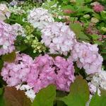 Hydrangea serrata Preziosa (5)