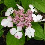 Hydrangea serrata Rosalba (1)