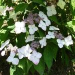 Hydrangea serrata Rosalba (2)