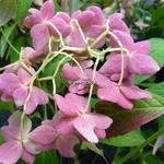 Hydrangea serrata Shirotae (10)