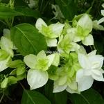 Hydrangea serrata Shirotae (2)