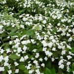 Hydrangea serrata Shirotae (1)