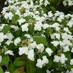 Hydrangea serrata Shirotae (4)