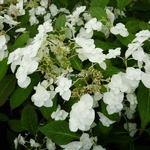 Hydrangea serrata Shirotae (3)