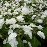 Hydrangea serrata Shirotae (6)