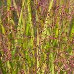 Panicum virgatum Shenandoah (2)