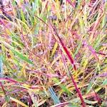 Panicum virgatum Shenandoah (1)