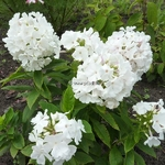 Phlox White Flame (2)
