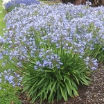 Agapanthus Blue Storm (1)