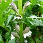 Acanthus mollis (7)