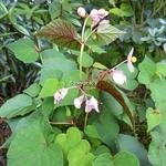 Begonia grandis evansiana (3)