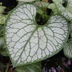 Brunnera macrophylla Jack Frost (9)