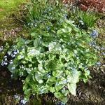 Brunnera macrophylla Jack Frost (3)