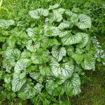 Brunnera macrophylla Jack Frost (4)