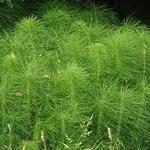 Equisetum hyemale (2)