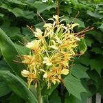 Hedychium gardnerianum (2)