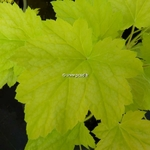 Heuchera Electric Lime (2)