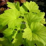 Heuchera Electric Lime (3)