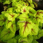 Heucherella Stoplight (5)
