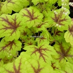 Heucherella Stoplight (3)