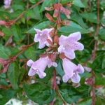Abelia Edward Goucher (1)