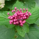 Clerodendrum bungei (1)