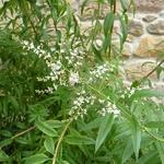 Aloysia citrodora (1)