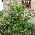 Aloysia citrodora (4)