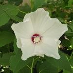 Hibiscus palustris Alba