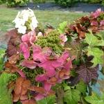 Hydrangea quercifolia Ruby Slipper