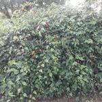 Abutilon megapotamicum (1)