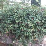 Abutilon megapotamicum (2)