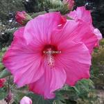 Hibiscus moscheutos Sweet Caroline (1)