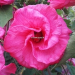 Hibiscus moscheutos Sweet Caroline (2)