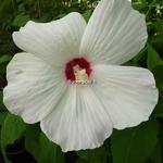 Hibiscus palustris Alba (1)