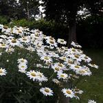 Leucanthemum superbum
