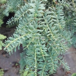Podocarpus lawrencei Blue Gem