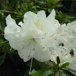 Rhododendron Encore Starlite (3)