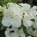 Rhododendron Encore Starlite (4)