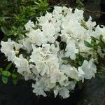 Rhododendron Encore Starlite (5)