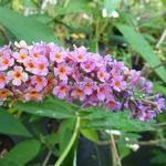 Buddleja weyeriana Bicolor