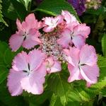 Hydrangea macrophylla Can Can (2)