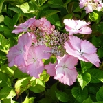 Hydrangea macrophylla Can Can (1)