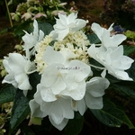 Hydrangea macrophylla Coco