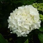 Hydrangea macrophylla First White (1)