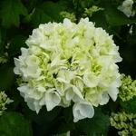 Hydrangea macrophylla First White (2)