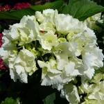 Hydrangea macrophylla First White
